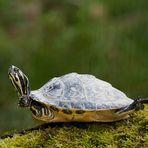 Schildkröte beim Yoga