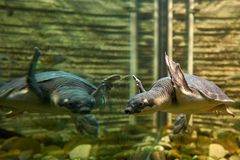 Schildkröte gespiegelt