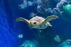 Schildkröte im Aquarium Virginia