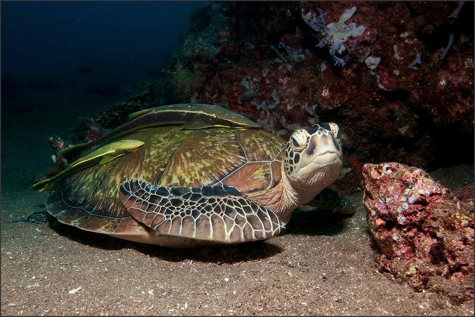 Schildkröte im Hausriff