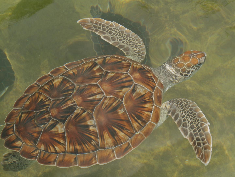 Schildkröte im Salzwasser der Karibik