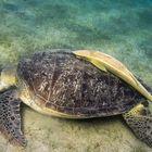 Schildkröte mit Pilotfisch