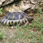 Schildkröte mit Rand