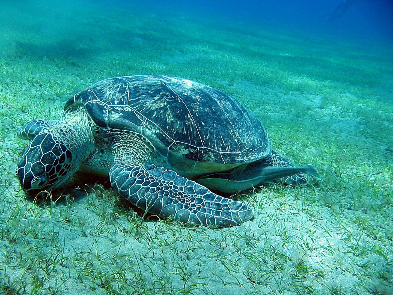 Schildkröte / Rotes Meer