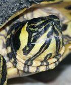 Schildkröte Rudi