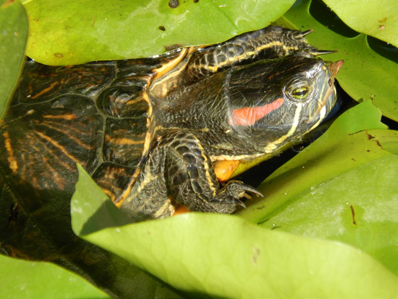 Schildkröte zwischen Seerosen
