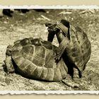 Schildkröten beim Liebesakt