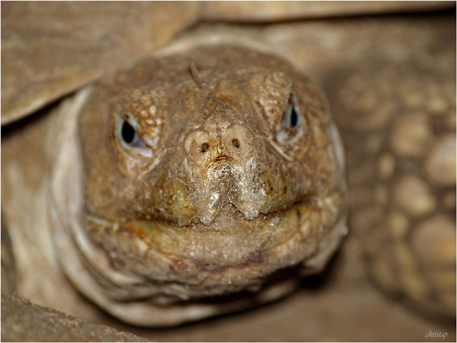 Schildkröten-Naseweis