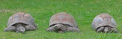 Schildkröten Trio