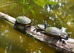 Schildkröten-Trio