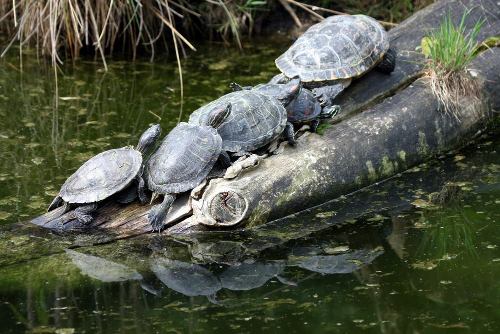 Schildkrötenauflauf