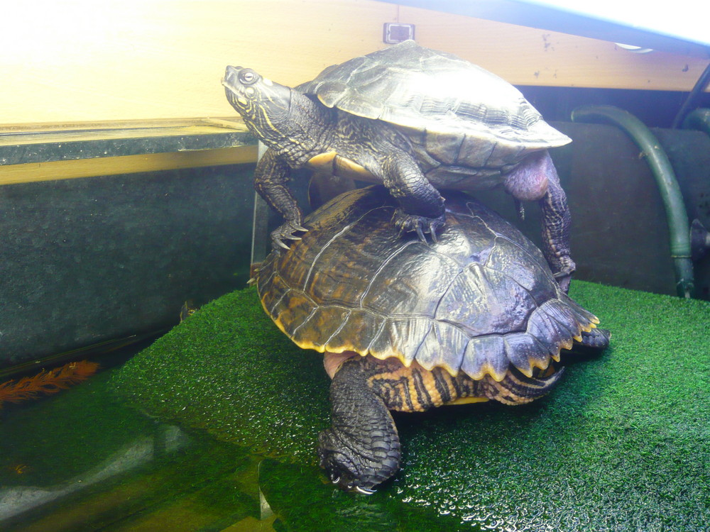 Schildkrötenstapel