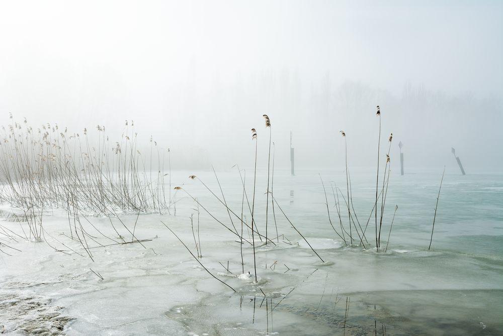 Schilf im Nebel