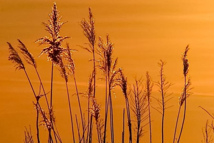 Schilf in der Abendsonne