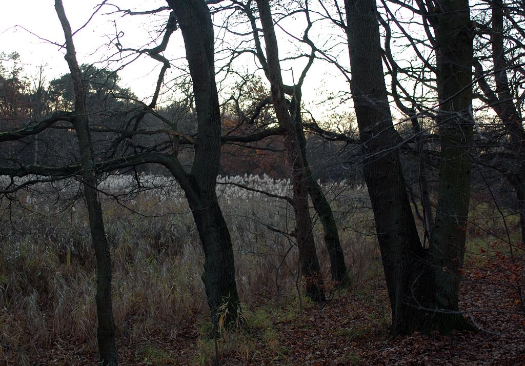 Schilf und Wald zur blauen Stunde