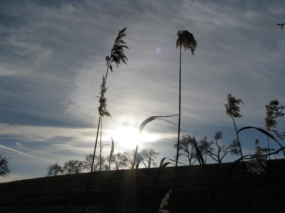 Schilf vor der Sonne