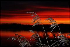 Schilf vor Sonnenaufgang