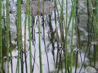 Schilff im Teich