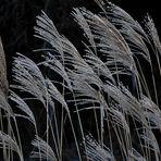 Schilfgrass im Winter