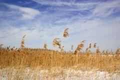 Schilflandschaft und blauer Winterhimmel