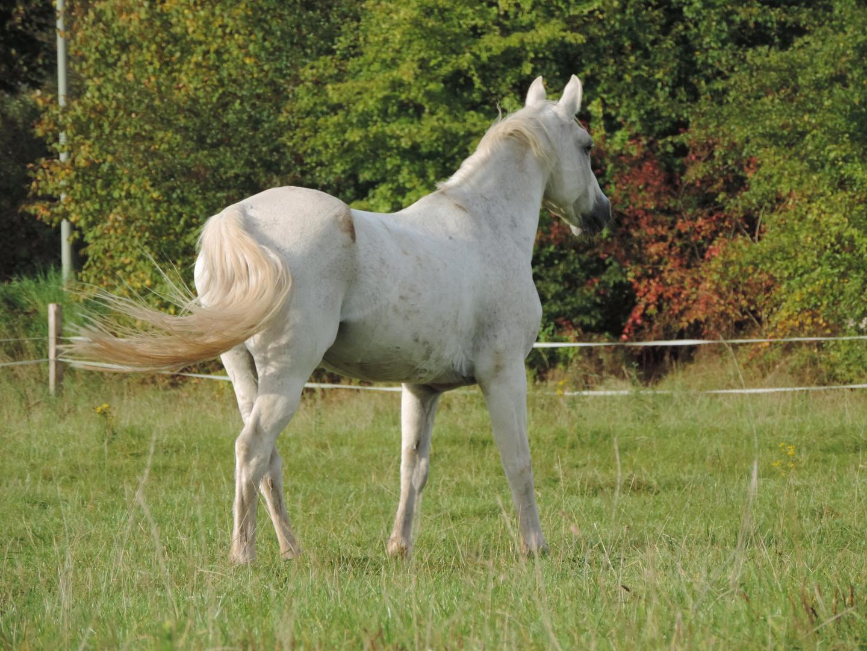 Schimmel Pony Nicky