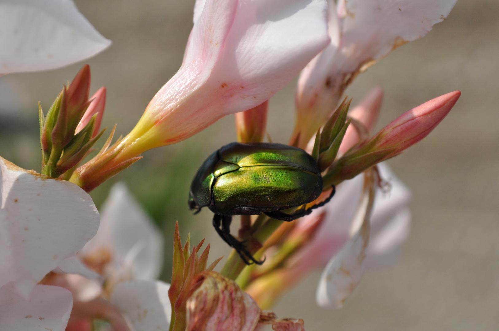 Schimmernder Käfer