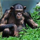Schimpanse-03-Walter-Zoo-090509