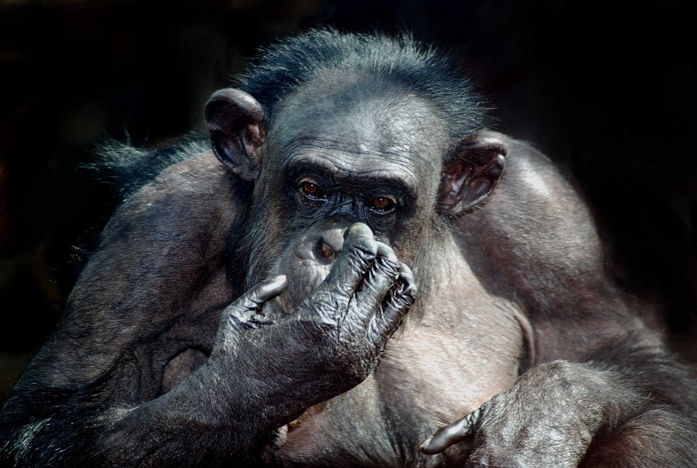 Schimpanse 1
