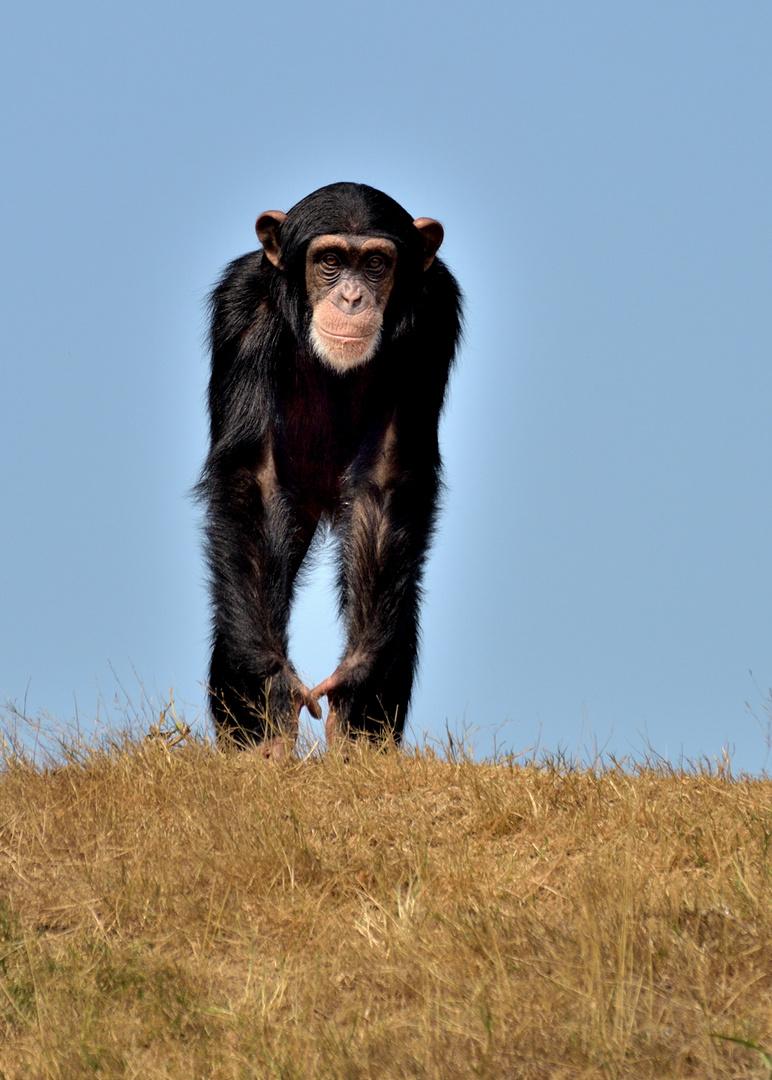 Schimpanse 2