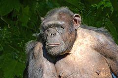 Schimpanse (2) -Zoo Neuwied-