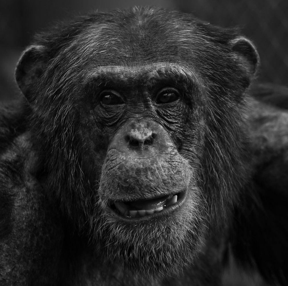Schimpanse Bilder