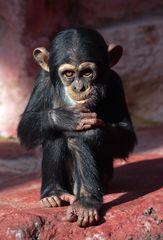 Schimpanse-Baby