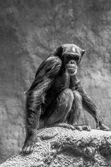Schimpanse im Pongoland des Zoo Leipzig