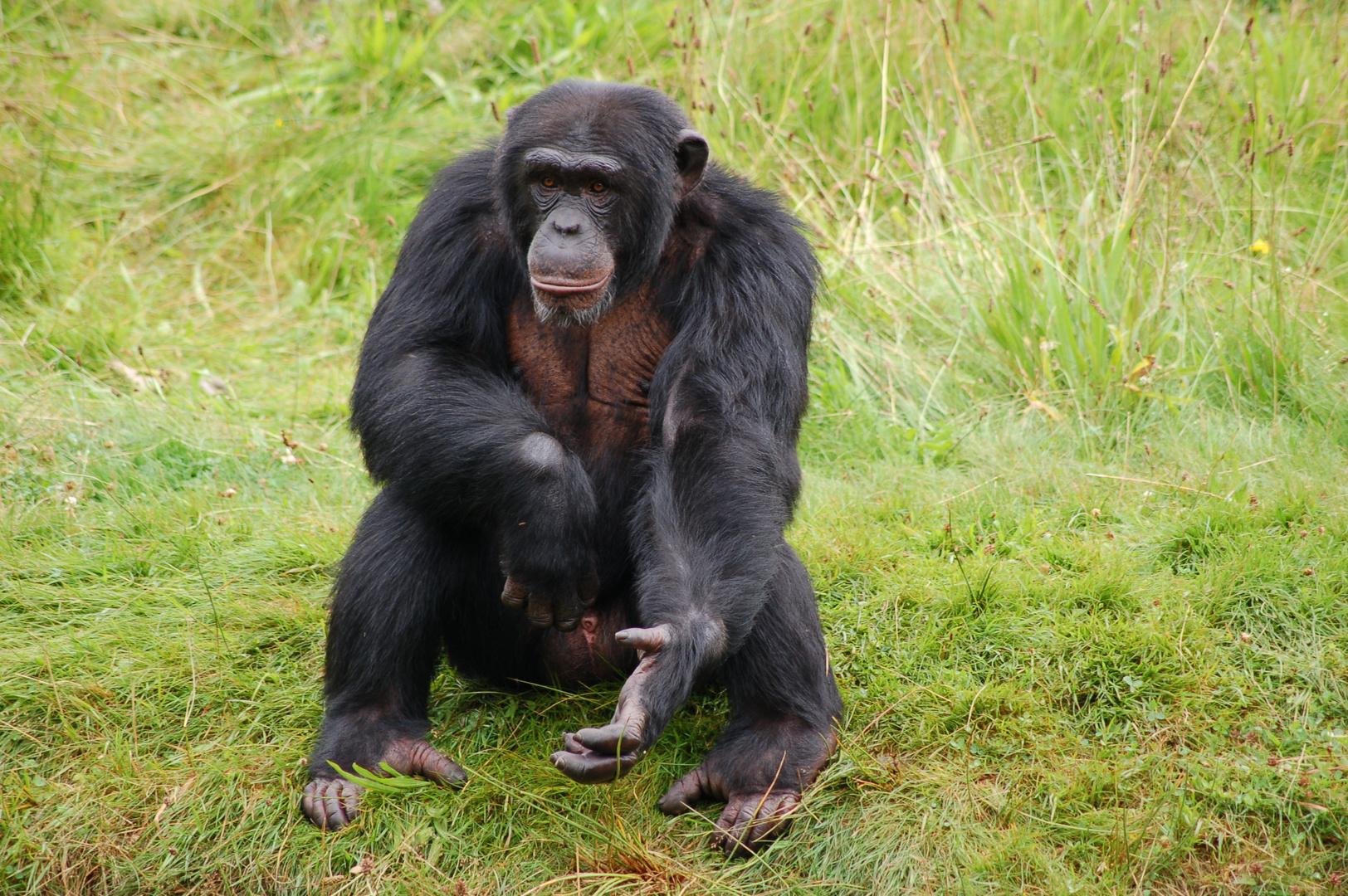 Schimpanse im Wildpark