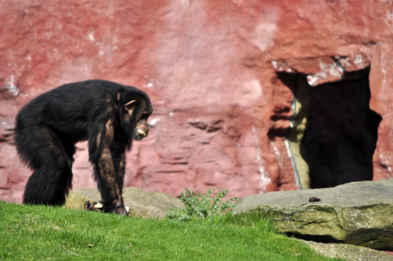 Schimpanse sichert seine Beute