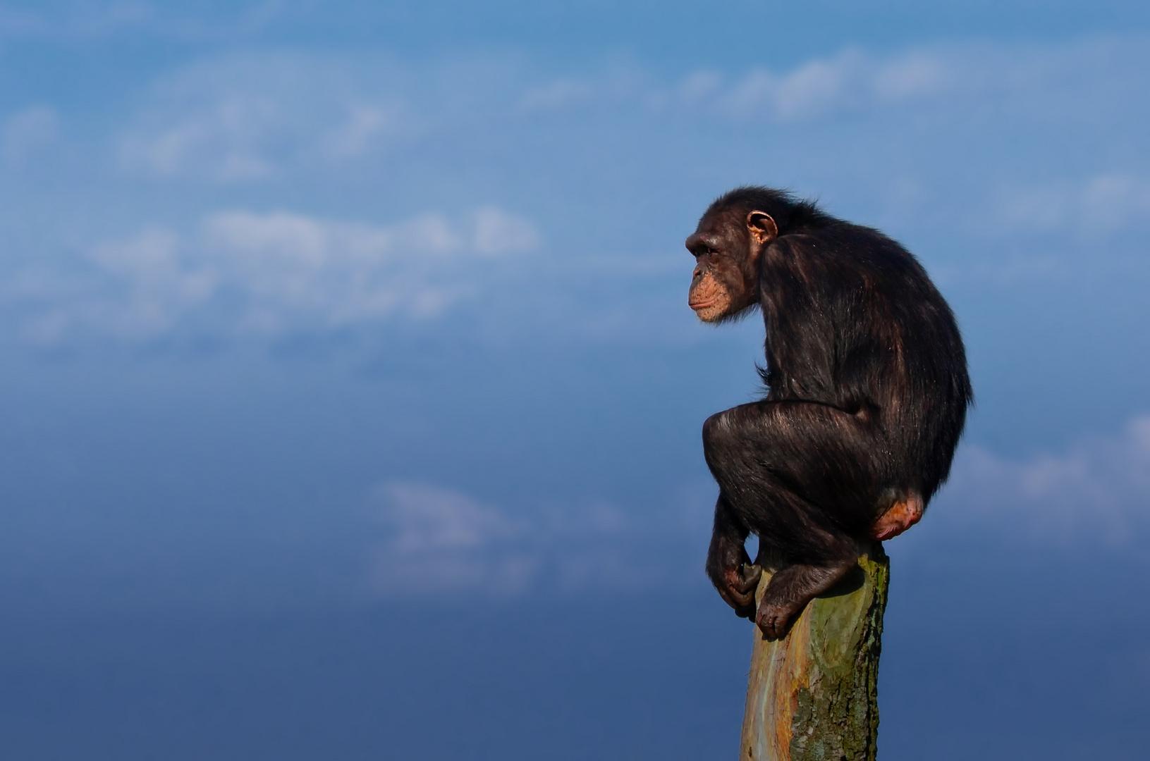 Schimpanse (Zoo Osnarück)