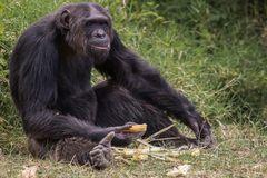 Schimpansen...