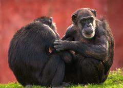 Schimpansen die Älteren