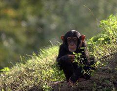 Schimpansen-Nachwuchs