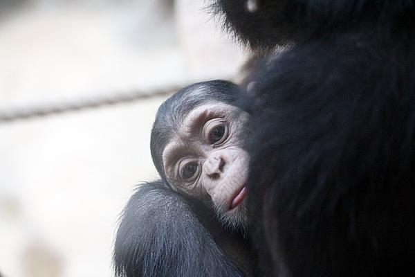 Schimpansenjungtier