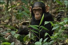 Schimpanzli