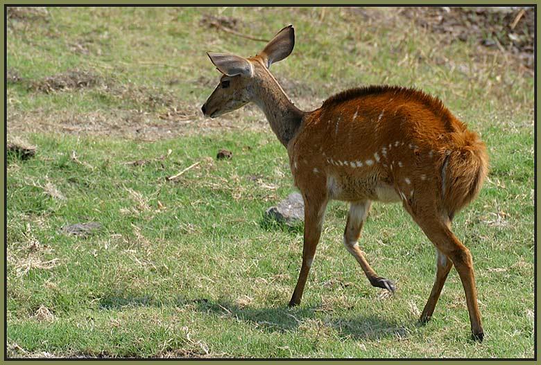 Schirrantilope