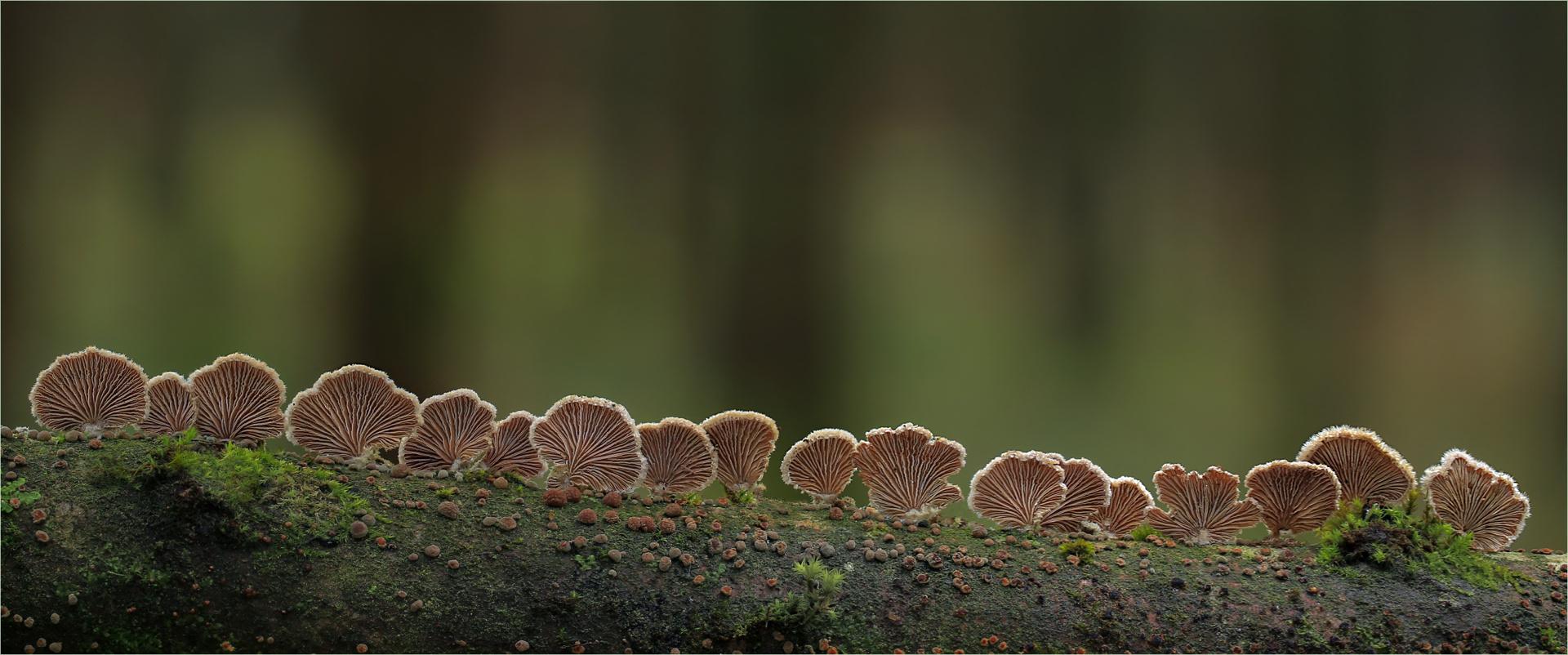 Schizophyllum commune…..4