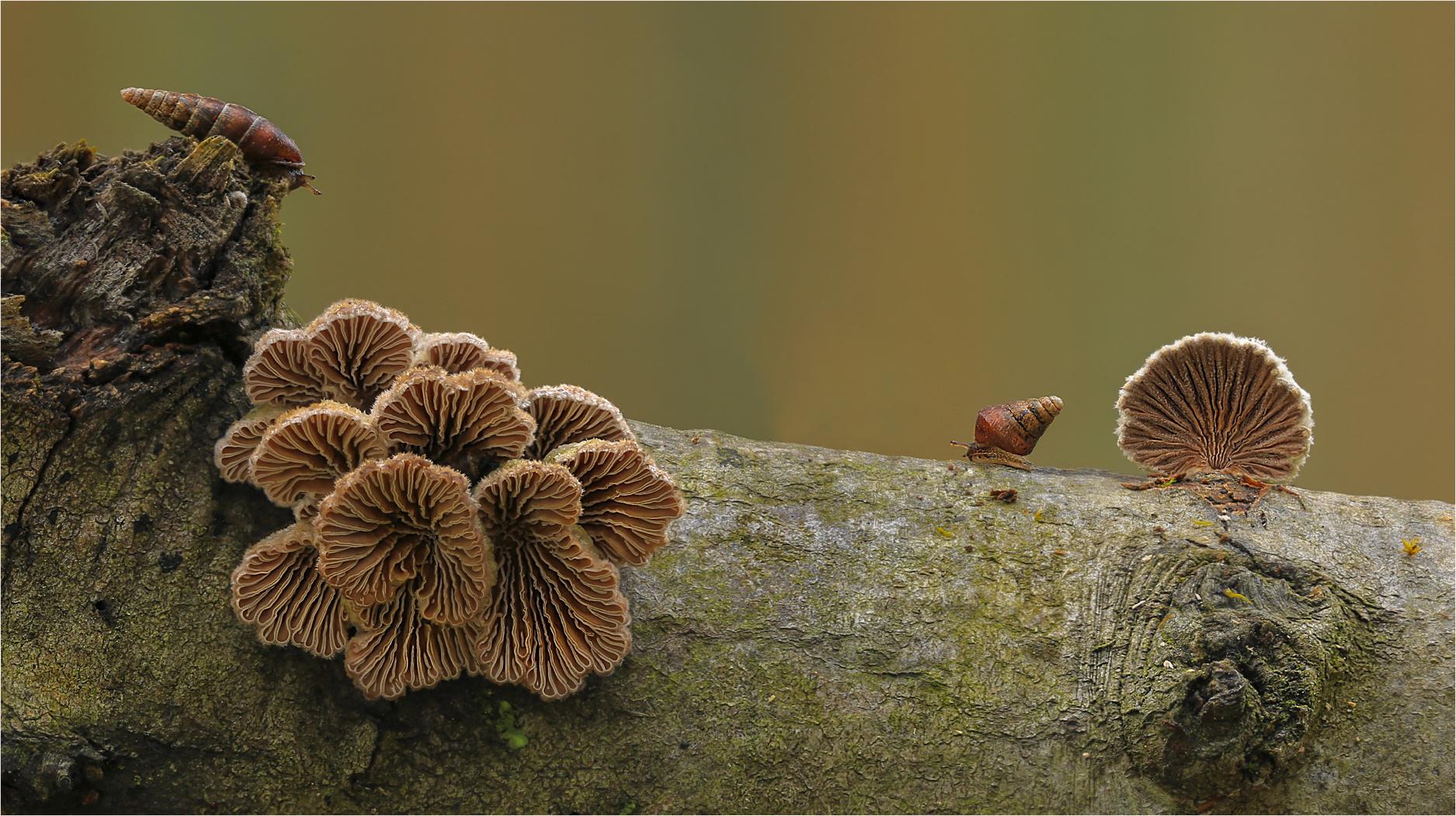 Schizophyllum commune…..8…..=: Blickkontakt :=