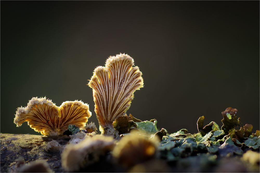 Schizophyllum II