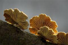 Schizophyllum III