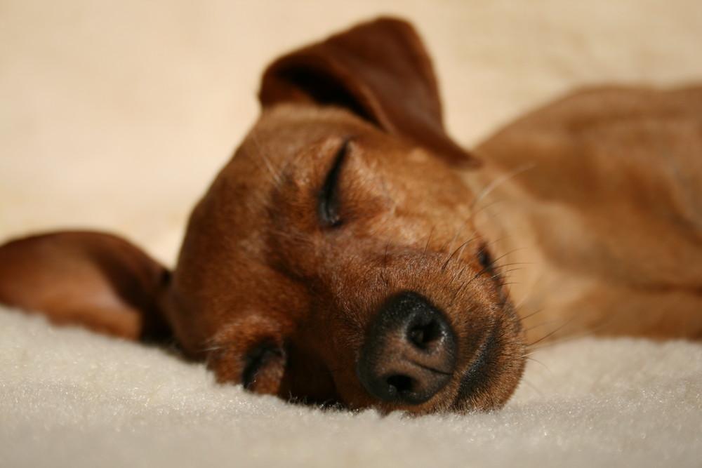 schlaf sch n foto bild tiere haustiere hunde bilder auf fotocommunity. Black Bedroom Furniture Sets. Home Design Ideas