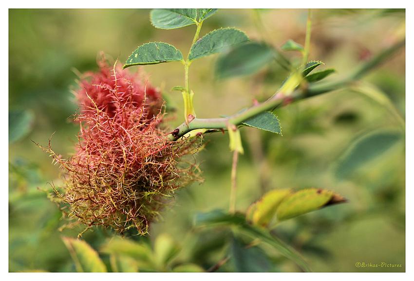 Schlafapfel der Rosengallwespe