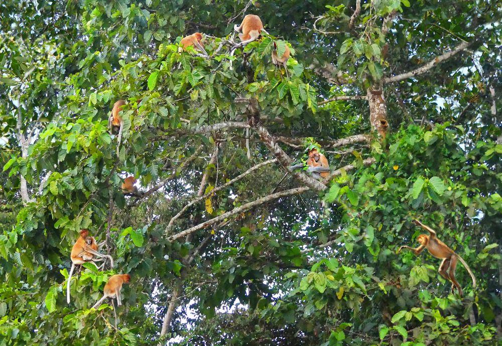 Schlafbaum der Nasenaffen