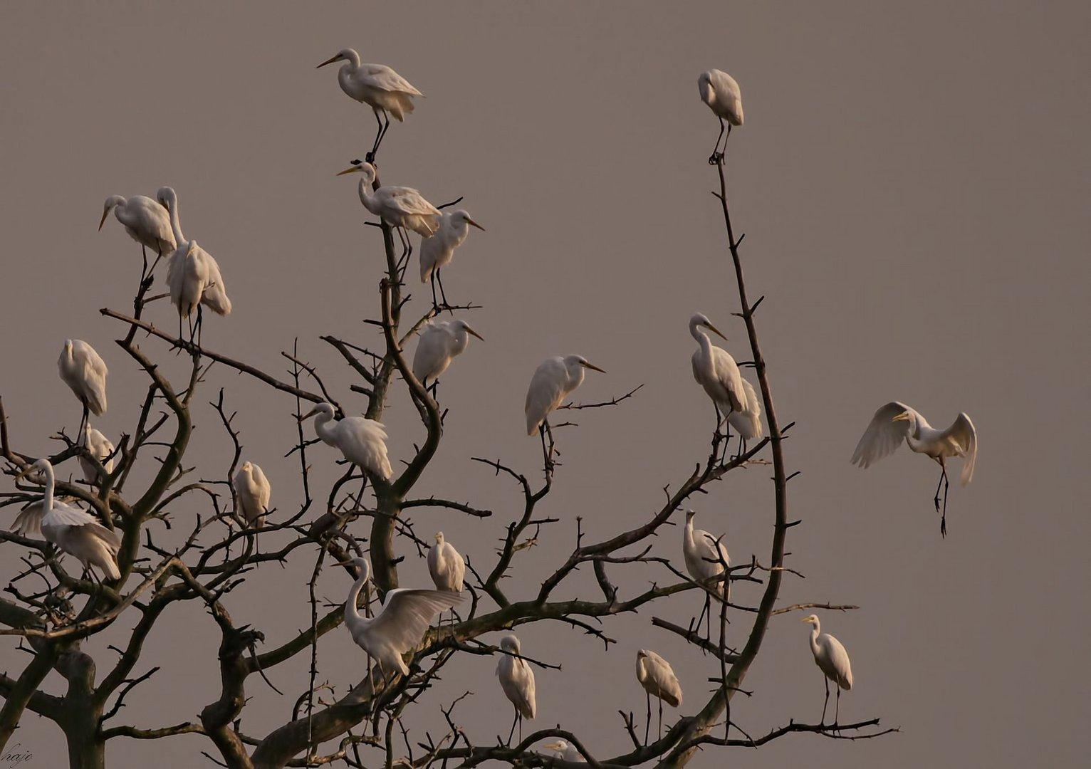 Schlafbaum der Silberreiher...